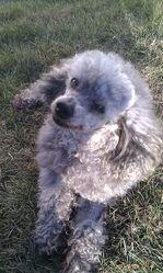 Lolo, chien Caniche