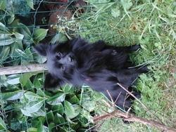Lolotte, chien Spitz allemand