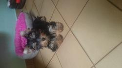 Lona, chien Yorkshire Terrier