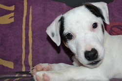 London, chien Jack Russell Terrier