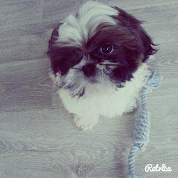 Loocky, chien Shih Tzu