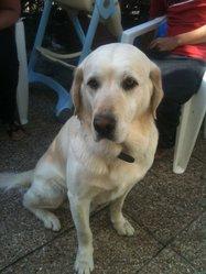 Loocky, chien Labrador Retriever
