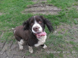 Loocy, chien Springer anglais