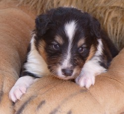 Looki, chien Berger des Shetland