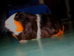 Looky, rongeur Cochon d'Inde