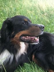 Looky, chien Bouvier bernois
