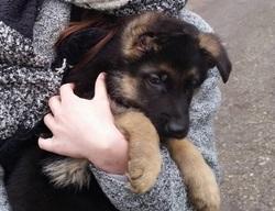 Looky, chien Berger allemand
