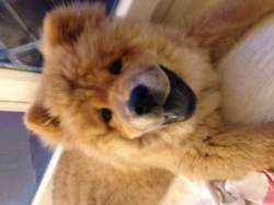 Looky, chien Chow-Chow