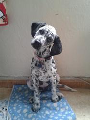 Loona, chien Dalmatien