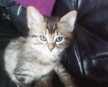 Loona, chat Maine Coon