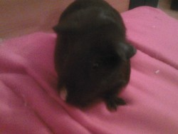 Loona, rongeur Cochon d'Inde
