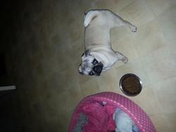 Loona, chien Carlin