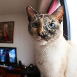 Loona, chat Thaï