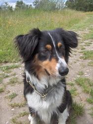 Loona, chien Berger australien