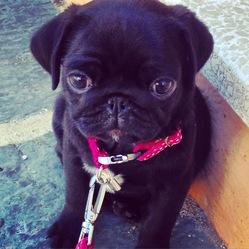Loonie, chien Carlin