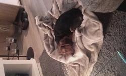 Looper, chien Beagle