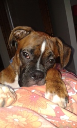 Looping, chien Boxer