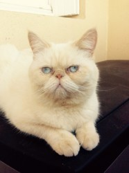 Looping, chat British Shorthair