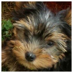 Looping , chien Yorkshire Terrier