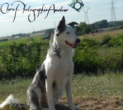 Looping, chien Border Collie