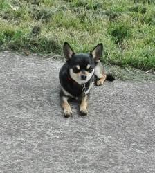 Looping Du Clos Champcheny, chien Chihuahua