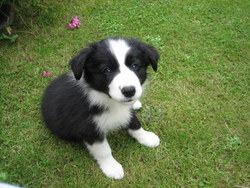 Loops, chien Border Collie