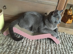 Loopy, chat Chartreux
