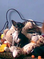 Looza, chien Chihuahua