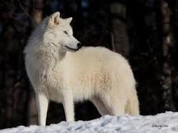 Lora, chien Chien-loup tchèque