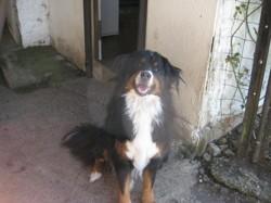Lorca, chien Bouvier bernois