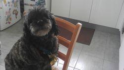 Choupie, chien Caniche