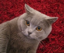 Lord Des Jardins St-Jean, chat British Shorthair