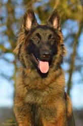 Lord Du Fosseret, chien Berger belge