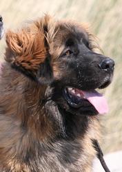 Lorenz, chien Leonberger