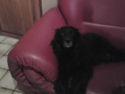 Lorie, chien Cocker anglais