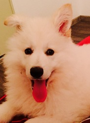 Lorio, chien Berger blanc suisse