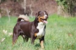 Loriot Du Taillis Du Houx, chien Bouvier d'Appenzell