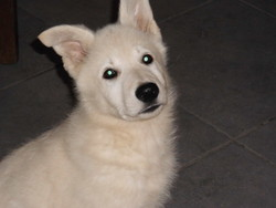 Lorky, chien Berger blanc suisse