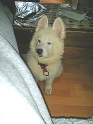 Lorraine, chien Berger blanc suisse