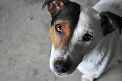Lost, chien Jack Russell Terrier