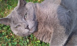 Lotus, chat Chartreux