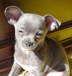 Lou, chiot Chihuahua