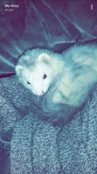 Lou, rongeur Furet