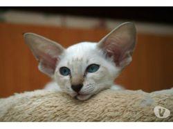Lou, chat Siamois