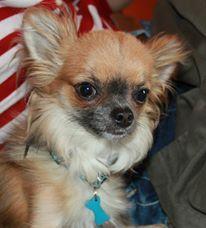 Loup, chien Chihuahua