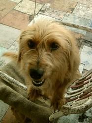 Lou, chien Griffon nivernais