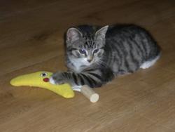 Lou, chat Européen