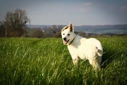 Lou, chien Berger blanc suisse