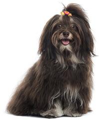 Lou, chien Bichon havanais