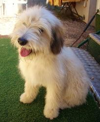 Lou, chien Chien de montagne des Pyrénées